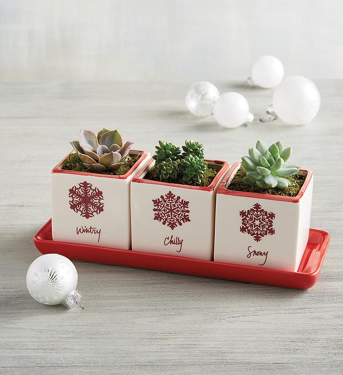 Holiday Succulent Trio