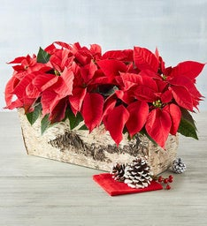 Holiday Mini Poinsettia Trio