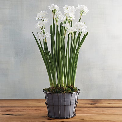 Image of Paperwhites Plant Gift